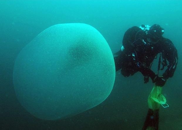 Биологи впервые изучили гигантские кладки кальмаров