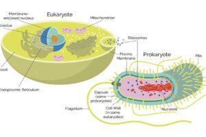 Прокариоты и эукариоты: что это такое и в чем между ними разница