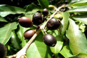 У диких сортов кофе, устойчивых к потеплению климата, обнаружен аромат арабики