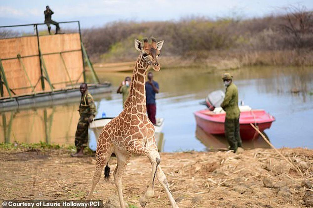 Последние два из 9 жирафов спасены с затопляемого острова в Кении