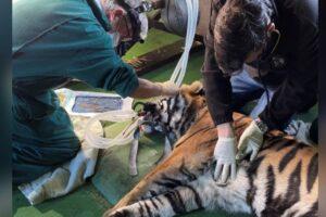 Тигру впервые в истории провели операцию на роговице глаза