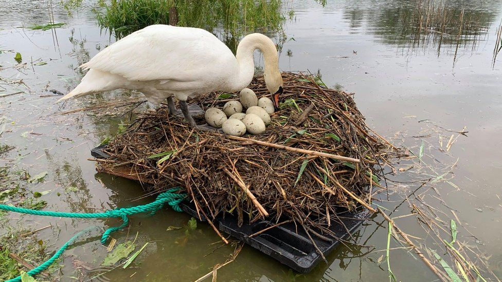 Британец построил плот, чтобы спасти лебедку, высиживавшую птенцов.Вокруг Света. Украина