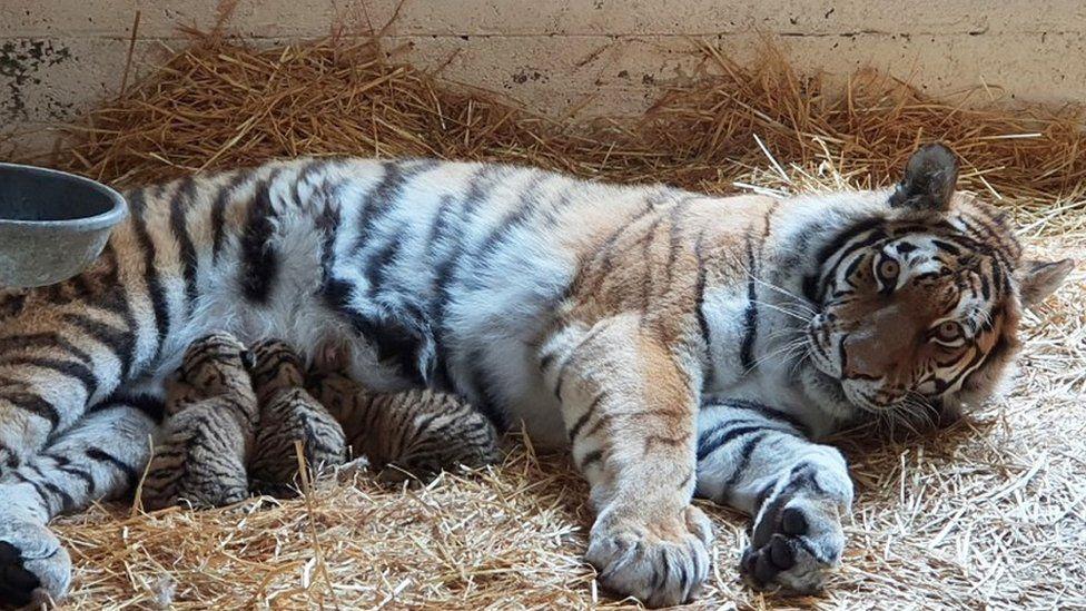 В шотландском заповеднике родились редкие амурские тигрята.Вокруг Света. Украина