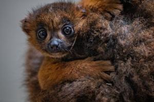 В английском зоопарке родился редкий рыжебрюхий лемур