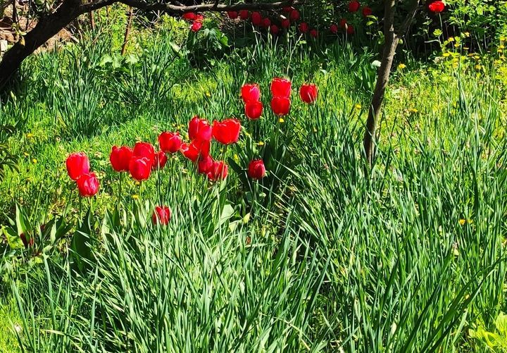 Как тюльпаны научились