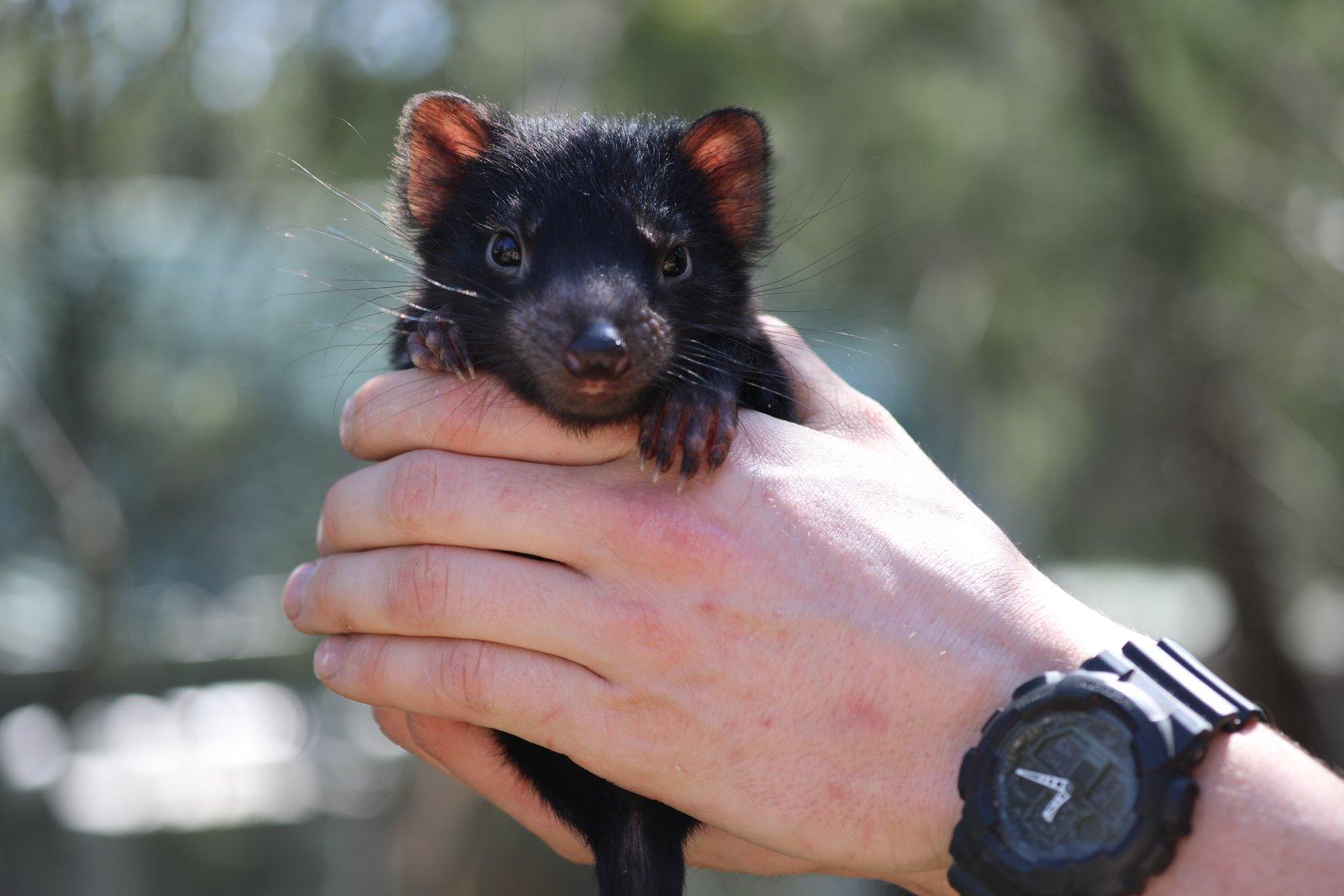 На материковой части Австралии впервые за 3000 лет родились тасманийские дьяволы.Вокруг Света. Украина