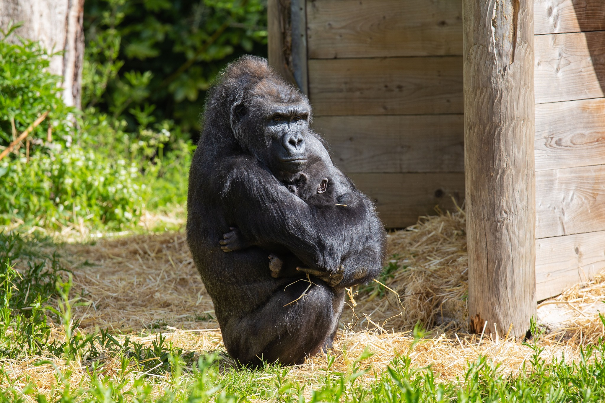 В английском зоопарке горилла усыновила детеныша