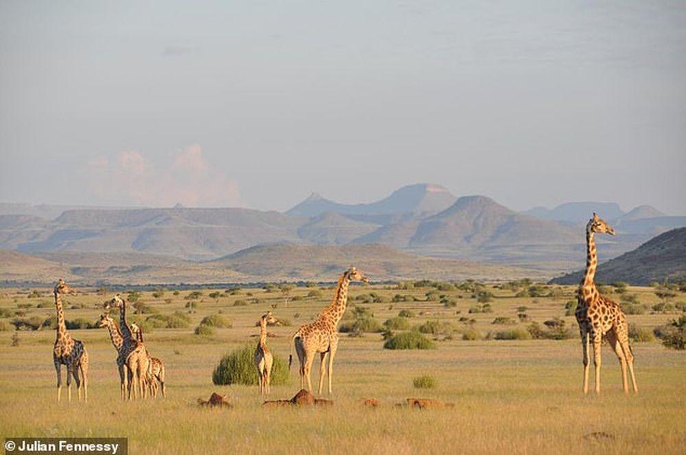 Жирафов не один вид, а четыре: что мы о них узнали благодаря новому исследованию генома