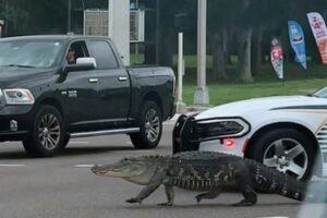 Во Флориде влюбленный аллигатор парализовал движение на трассе
