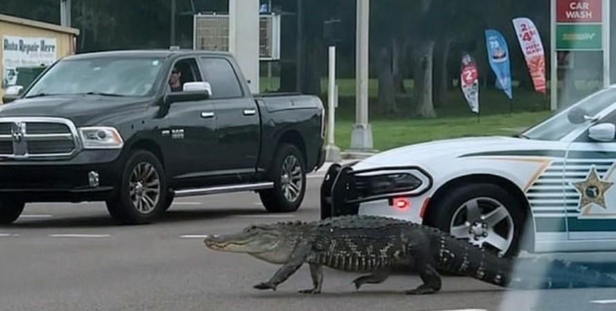Во Флориде влюбленный аллигатор парализовал движение на трассе.Вокруг Света. Украина