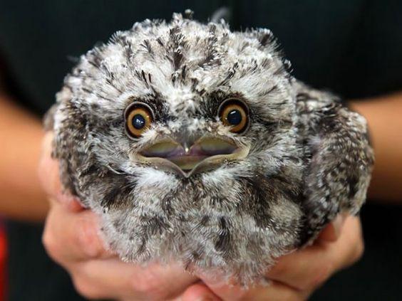 Лягушкорот – самая инстаграмная птица на Земле: исследователи