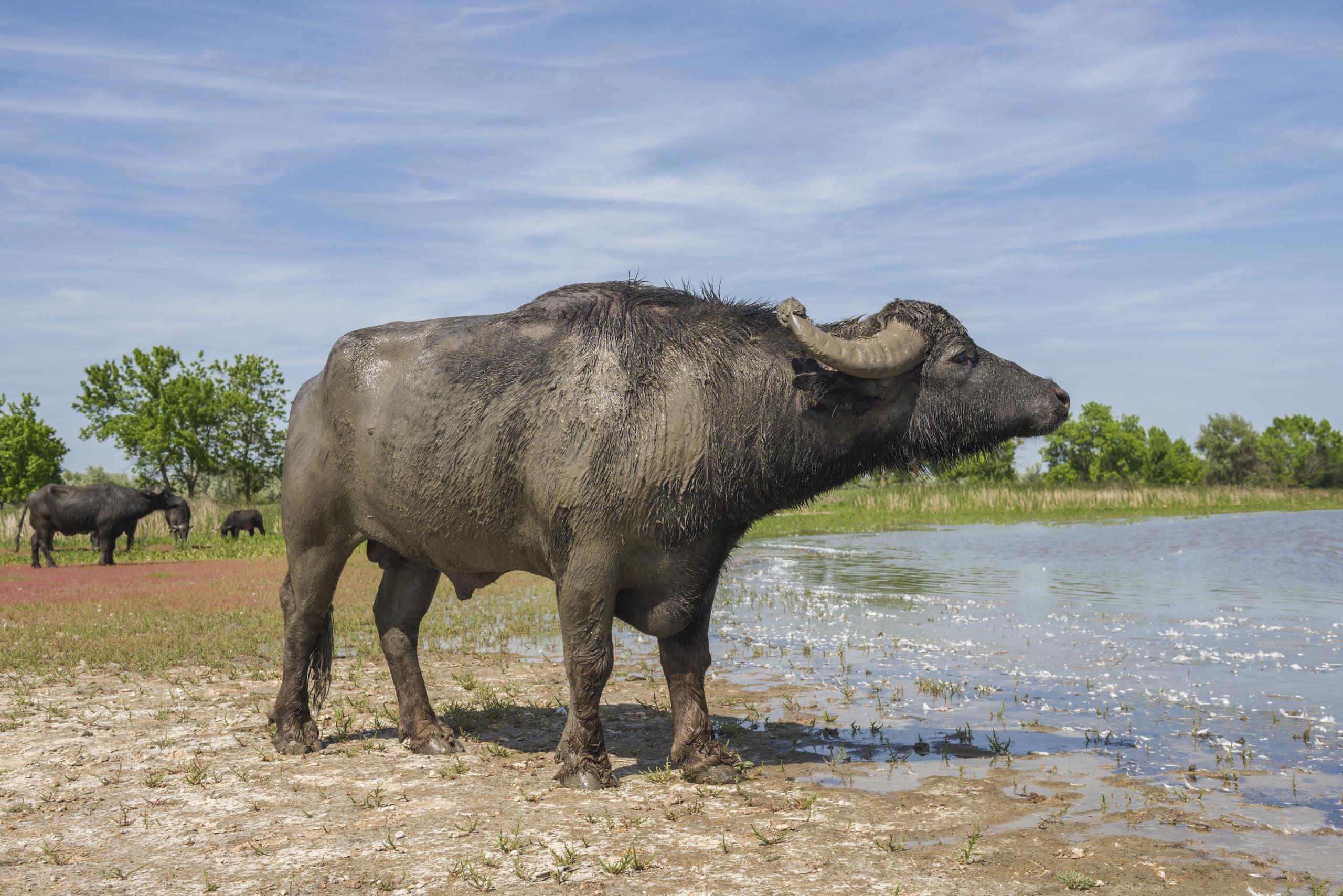 Азиатские буйволы в Украине: история разведения и интересные факты