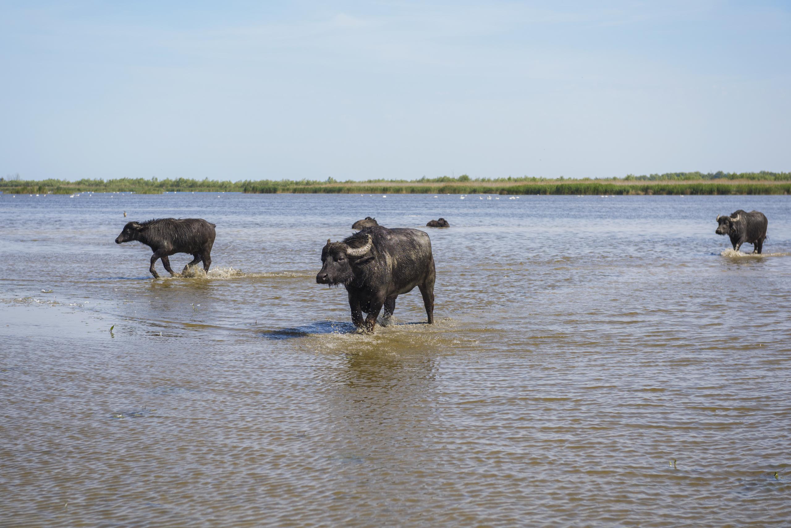 буйволы в Украине