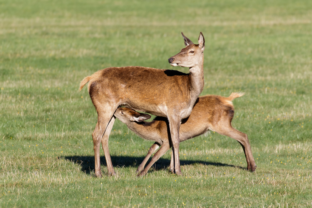 В Харьковской области убили беременную олениху
