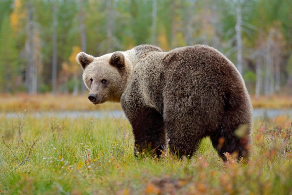 Принца Лихтенштейна обвинили в убийстве крупнейшего медведя в ЕС