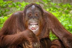 Какие животные умеют смеяться