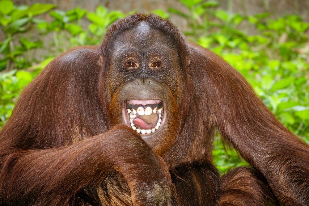Какие животные умеют смеяться.Вокруг Света. Украина
