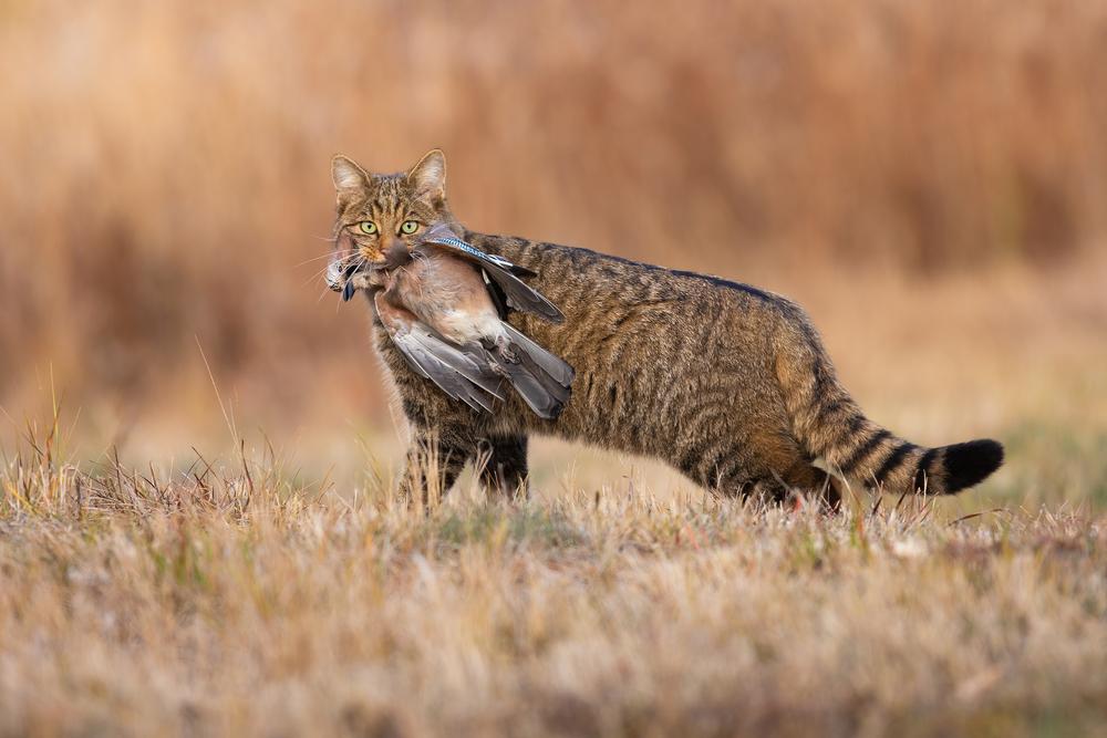 В Англии восстанавливают популяцию хищника, исчезнувшего 200 лет назад