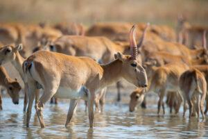 В Казахстане молния убила сотни редких антилоп
