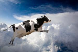 Коров будут кормить чесноком, чтобы снизить выбросы метана