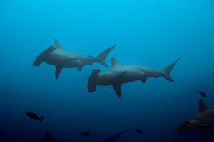 Акулы ориентируются по магнитному полю Земли