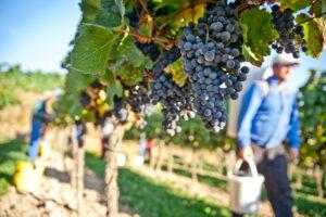 Американская винодельня предлагает работу за любовь к вину