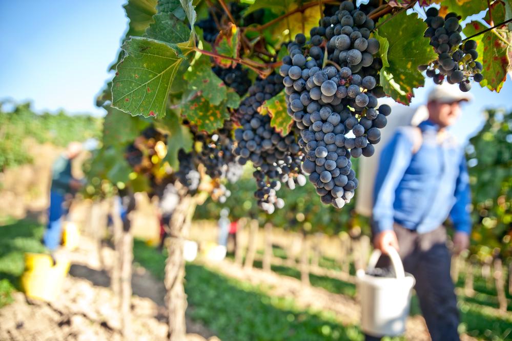 Американская винодельня предлагает работу за любовь к вину.Вокруг Света. Украина
