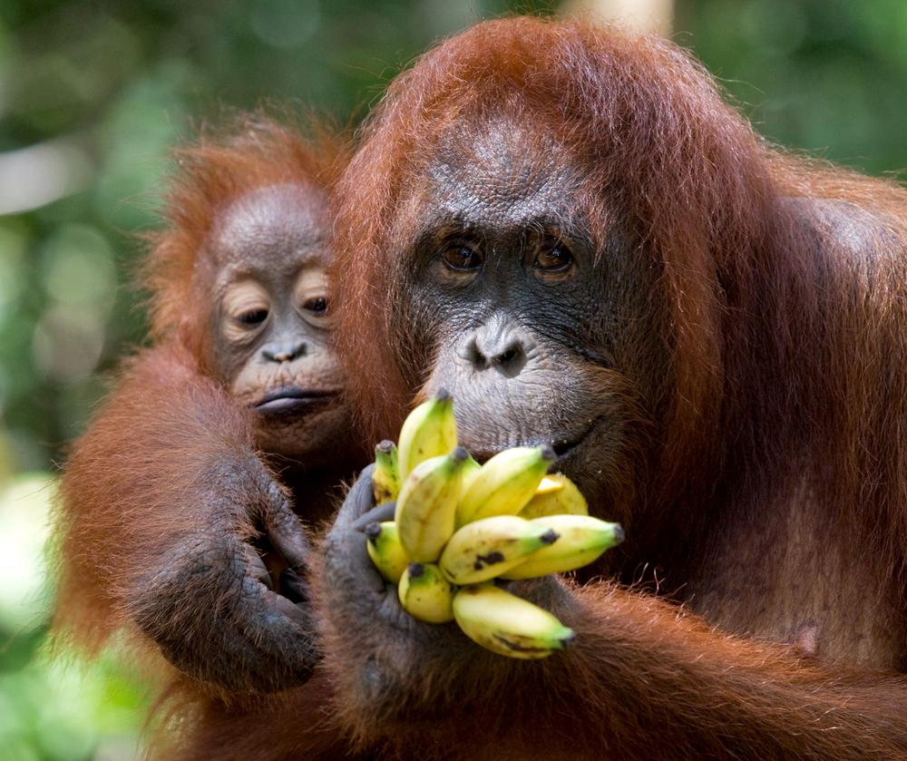 При дефиците фруктов орангутаны теряют мышечную массу: исследование
