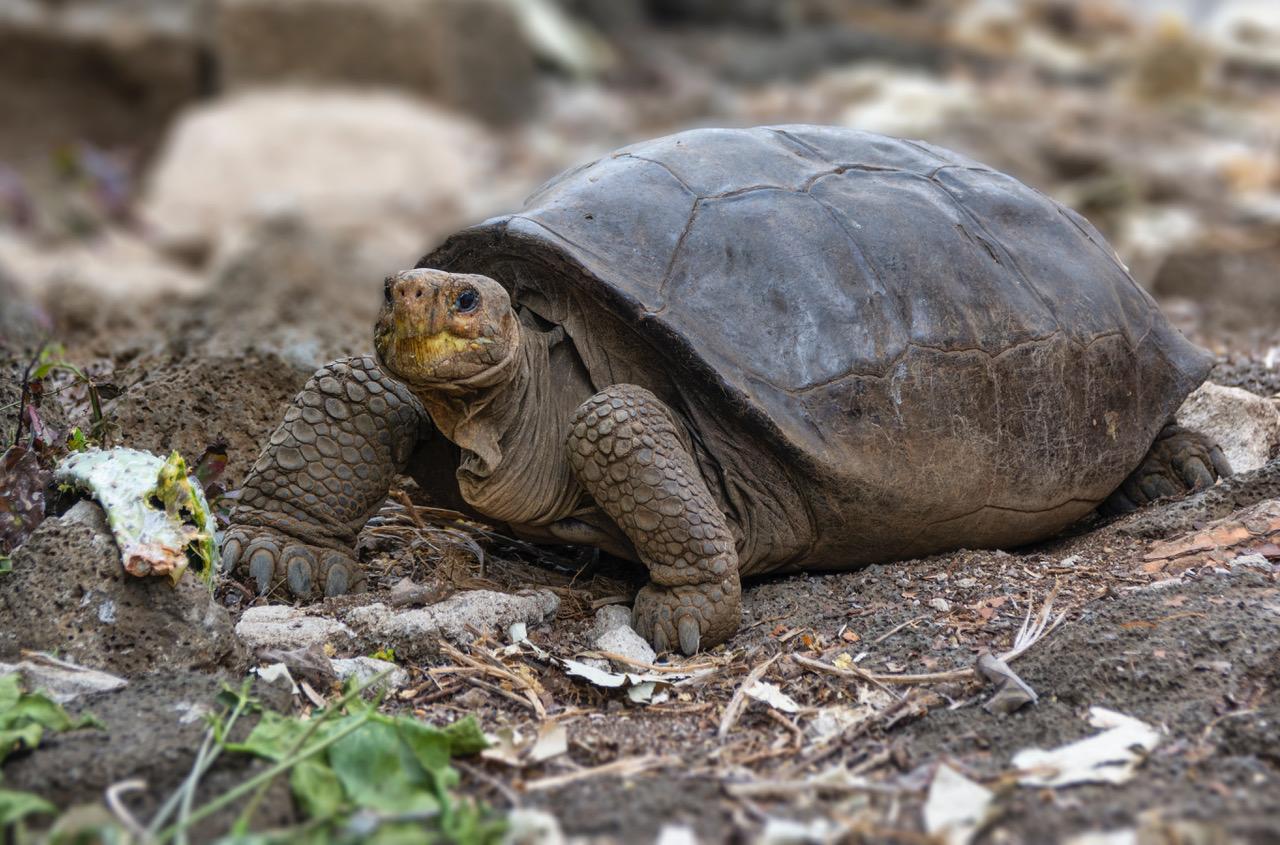На Галапагосах нашли черепаху, которая больше века считалась вымершей