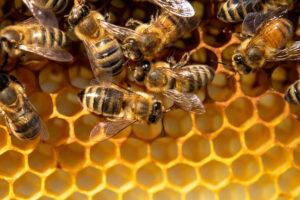 """Это """"жжж"""" неспроста: интересные факты о пчелах"""