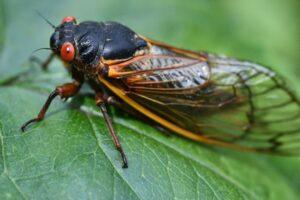 В США началось нашествие периодических цикад