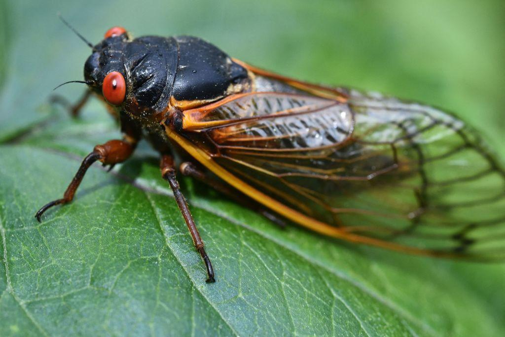 В США началось нашествие периодических цикад.Вокруг Света. Украина