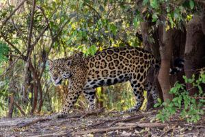 В США восстановят популяцию ягуаров