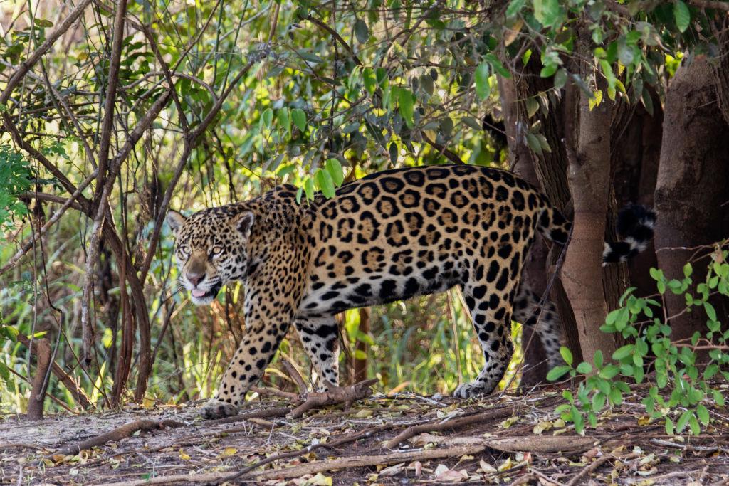 В США восстановят популяцию ягуаров.Вокруг Света. Украина