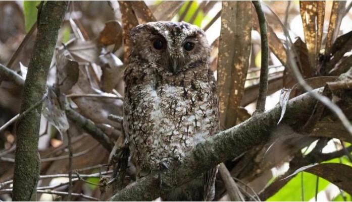 В Малайзии обнаружили сову, которую с ХIХ века считали вымершей