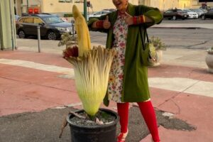 В Калифорнии коллекционер показал трупный цветок, который распускается раз в 10 лет