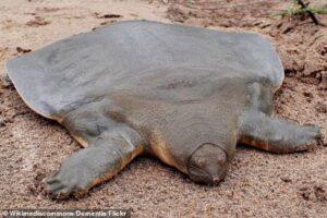 Самая странная черепаха в мире, близкая к полному вымиранию, обнаружена в Индии