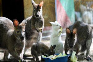 В зоопарке Татарстана родился кенгуру-альбинос