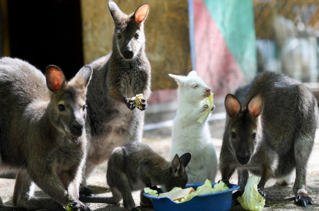 В зоопарке Татарстана родился кенгуру-альбинос.Вокруг Света. Украина