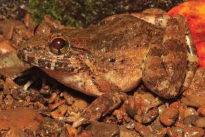 На Филиппинах открыли клыкастую лягушку с характерным брачным криком