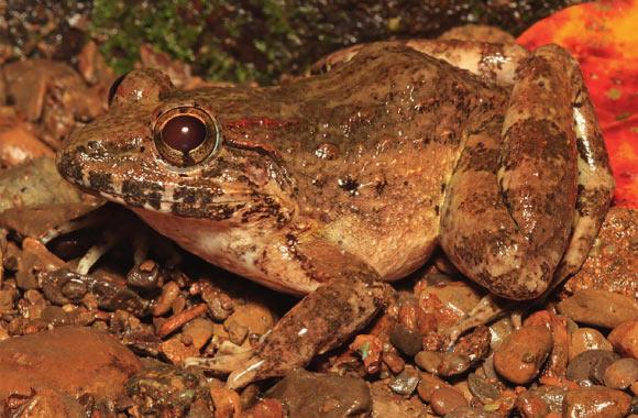 На Филиппинах открыли клыкастую лягушку с характерным брачным криком.Вокруг Света. Украина