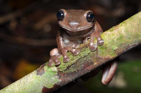 В Новой Гвинее обнаружили неизвестную «шоколадную» лягушку