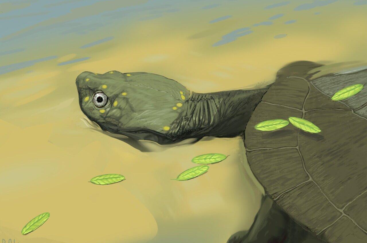 В США открыли новый вид древнейшей бокошейной черепахи: ей 96 млн лет.Вокруг Света. Украина
