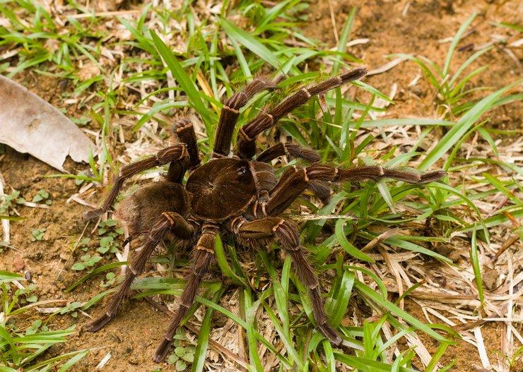 Какой паук самый большой в мире?