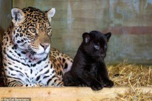 В парке дикой природы в Британии родилась самка редкого черного ягуара