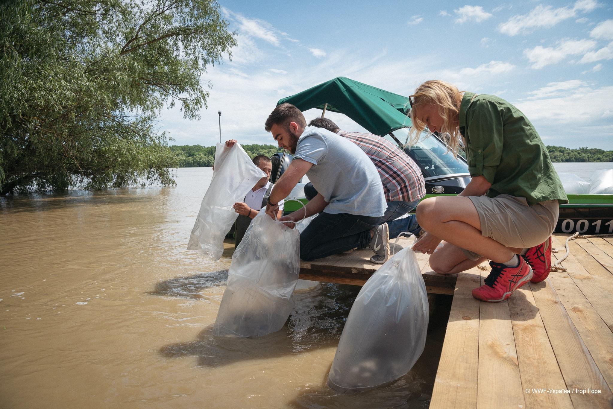 В Дунай выпустили 10 тысяч мальков стерляди, чтобы восстановить популяцию