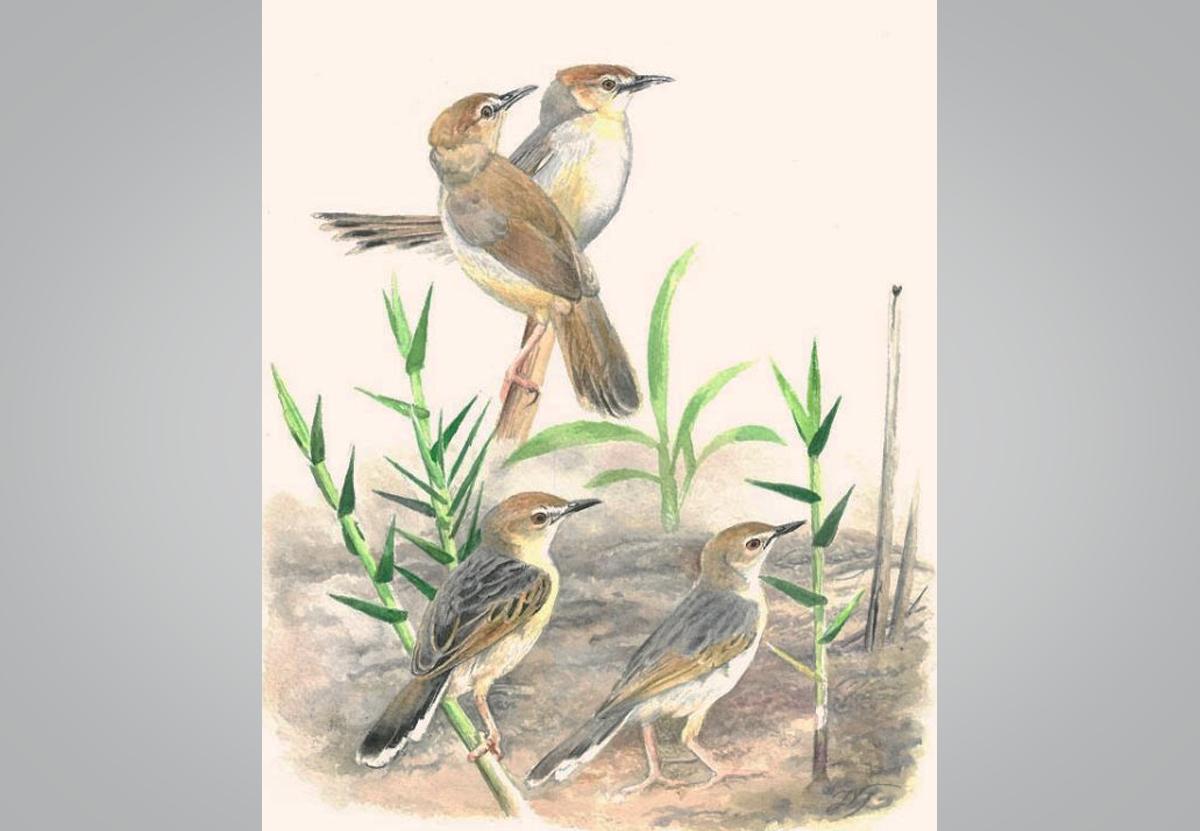 В Танзании открыли два новых вида певчих птиц цистикол