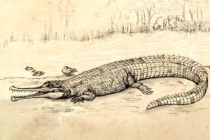 Самый крупный крокодил Австралии обитал на Земле 5 млн лет назад