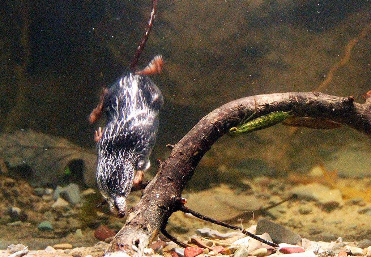 Водяные землеройки: раскрыт секрет самых маленьких ныряющих млекопитающих