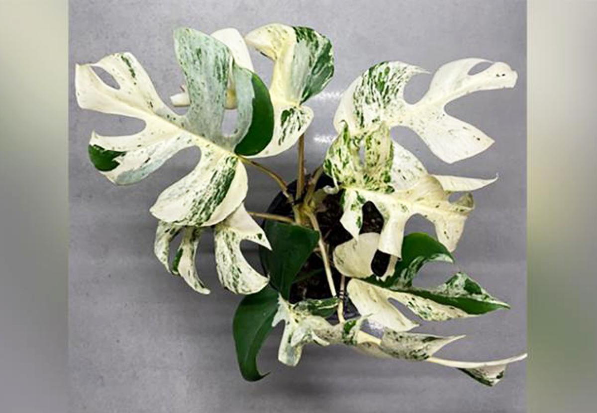 На аукционе в Новой Зеландии продали самое дорогое комнатное растение в мире
